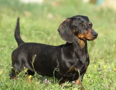 Un chien Teckel